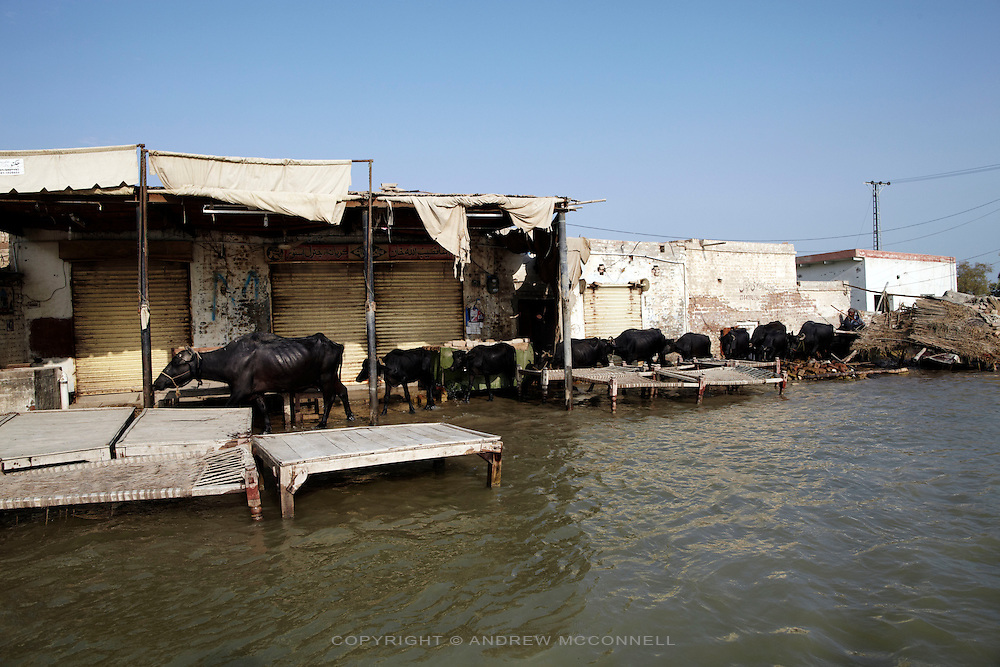 Water Buffalo make their way through the flooded village of Sultan Kot, in Sindh Province, Pakistan.