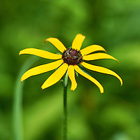 Black Eyed Susan. Summer Wildflowers at the Sourland Mountain Reserve.  Image taken with a Nikon D3s and 70-200 mm  f/2.8 VR lens + TC-E III 20 teleconverter (ISO 200, 400 mm, f/5.6, 1/1250 sec). Raw image processed with Capture One Pro, Focus Magic, and Photoshop CS5.