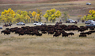 The 48th annual Custer State Park Buffalo Roundout was held Friday September 27, 2013.