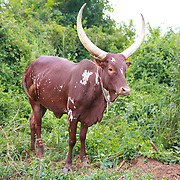 CAPTION: Ankole cows get their name from the fact that they are kept mostly by the Ankole Tribe of Western Uganda. It was only recently that groups of people in other parts of the country started rearing them, as here in Eastern Uganda. LOCATION: Apapai Parish, Otuboi Sub-county, Kalaki County, Kaberamaido District, Uganda. INDIVIDUAL(S) PHOTOGRAPHED: N/A.