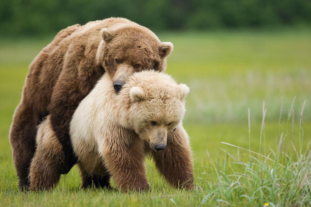 USA, Alaska, Katmai National Park, Brown Bears (Ursus arctos) mating in meadow along Hallo Bay