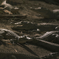 Crocodiles lay on the edge of a 'sacred pond' in Amani, Dogon country, Mali