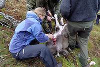 Jente slakter elg