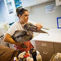 SARASOTA, FL -- October 2012 -- Hospital staffer Sarah Olivero helps an injured brown pelican at Save Our Seabirds (S.O.S.) on City Island in Sarasota, Florida.  (PHOTO / CHIP LITHERLAND)