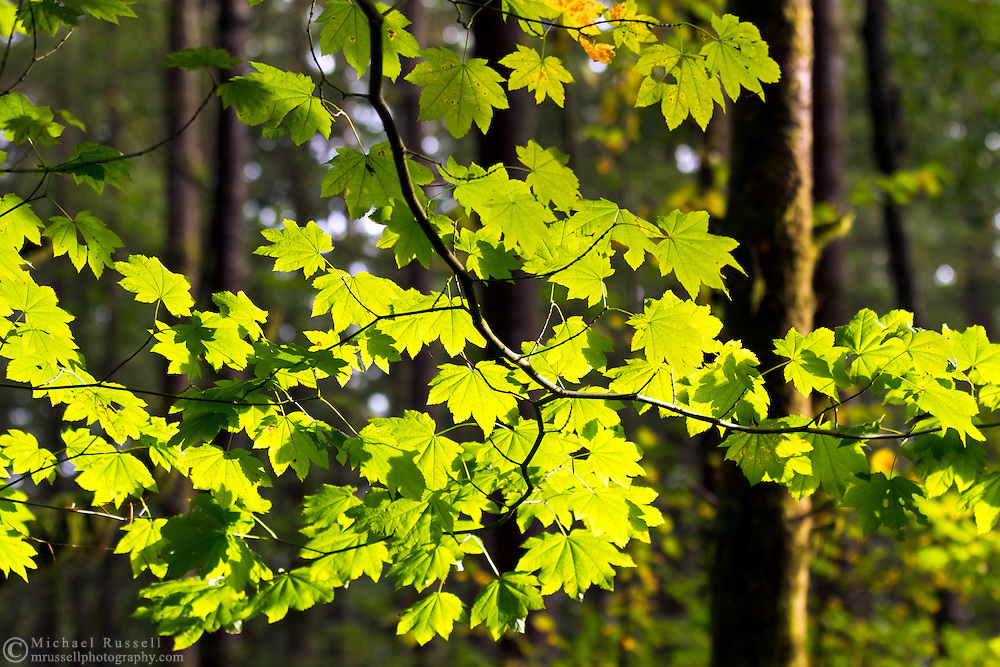 Vine Maple (Acer circinatum) leaves lit by sunlight at Campbell Valley Park in Langley, British Columbia, Canada