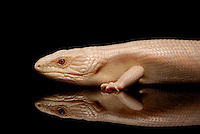 Albino Eastern Blue Tongue Skink (Tiliqua scincoides scincoides) on black