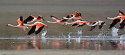 Flamingos on Huayacota lake in Sajama National Park, Bolivia