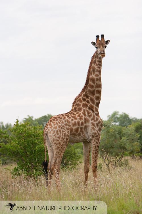 Giraffe (Giraffa camelopardalis)<br /> SOUTH AFRICA: Limpopo Province<br /> Nylsvley Reserve near Nylstroom<br /> 8-Jan-2006<br /> S24 37.9697  E028 40.6479 1160m<br /> J.C. Abbott #2214