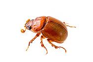 Boring Scarab Beetle (Odonteus sp.)<br /> TEXAS: Sabine Co.<br /> Brookeland near Lake Sam Rayburne<br /> 7-April-2016<br /> J.C. Abbott &amp; K.K. Abbott #2791