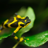 In recent years, conservation biologists have drawn our attention to a worldwide decline in wild populations of frogs, toads, and salamanders - a phenomenon that has come to be called the Global Amphibian Crisis.  While habitat loss is still considered the most serious threat to the majority of species, especially in the humid tropical forest regions of the world, a fungal disease known as chytrid has been identified as being exceptionally deadly to amphibians, while not seeming to affect other groups of vertebrates - fish, reptiles, birds and mammals. A frog-killing fungus in Central and South America spreads in waves like other infectious diseases, challenging a theory that climate change is to blame. El Valle Amphibian Rescue Center in El Valle de Anto?n en Panama?. In response to this need, the Houston Zoo established the Center in central Panama. Atelopus varius. Harlequin Frog, Clown Frog