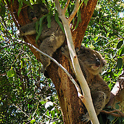 Koalas rest in a tree at Koala Conservation Centre, Phillip Island, Victoria, Australia. The koala (Phascolarctos cinereus) is an arboreal herbivorous marsupial native to Australia, and the only surviving member of the family Phascolarctidae. The koala is found in coastal regions of eastern and southern Australia, from Adelaide to the southern part of Cape York Peninsula, extending inland where enough moisture supports suitable woodlands. The koalas of South Australia were mostly exterminated during the early 1900s, but have been repopulated with Victorian stock. The koala is not found in Tasmania or Western Australia. The koala is one of the few mammals (other than primates) that has fingerprints. It is generally silent, but males have a very loud advertising call that can be heard from almost a kilometer away during the breeding season. The koala requires large areas of healthy, connected forest and will travel long distances along tree corridors in search of new territory and mates. Human encroachment cuts these corridors with agricultural and residential development, forestry, and road-building, marooning koala colonies in decreasing areas of bush.