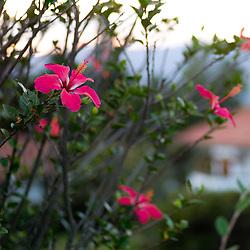 Pink hibiscuses in Villa de Leyva, Boyacá, Colombia.