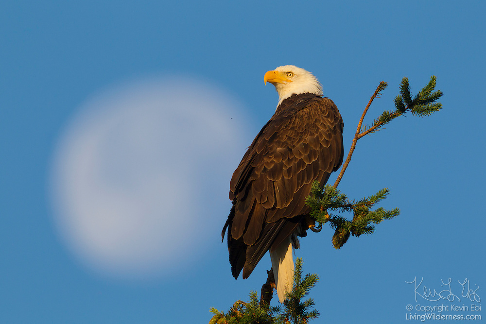 A Bald Eagle (Haliaeetus leucocephalus) looks out from its perch at the top of the tree with the nearly full moon in the background.