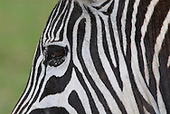 Detail of the head and eye of a Common zebra ( Equus quagga )