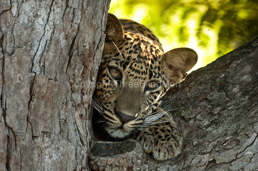 Leopard cub on tamarind