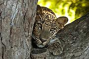 Leopard cub on tamarind
