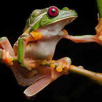 Gliding Treefrogs, Agalychnis spurrelli, mating.