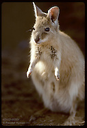 02: TANAMI DESERT RUFOUS HARE WALLABY
