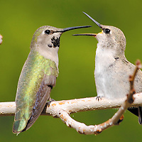 A female hummingbird tends to one of her babies a short distance from its nest Monday afternoon.