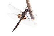 Common Baskettail (Epitheca cynosura) - male<br /> WISCONSIN: Oneida Co.<br /> 8535 Bo-di lac Rd, Minoqua <br /> 11-June-2014<br /> J.C. Abbott #2666 &amp; K.K. Abbott