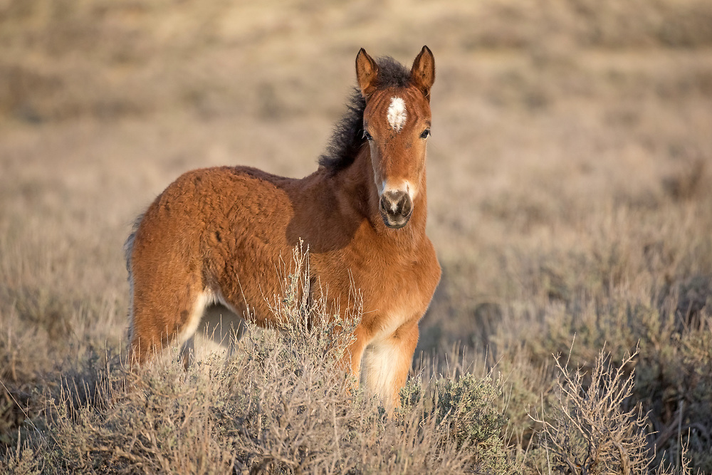 This little bay filly is one of five foals born at McCullough Peaks this spring. Her sire is the fiery pinto stallion, TNT Dynamite and her dam is a lovely bay mare. I look forward to watching this little girl as she grows up on the range, forever wild and free.