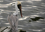 A gray pelican spies some fish and ready's itself to dive off the wooden dock.