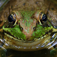 Close-up of the face of a green frog (Rana clamitans) in a small vernal pool during mating season, Huntley Meadows Park, Alexandria, Virginia