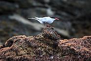 Sterna vittata (Antarctic tern)