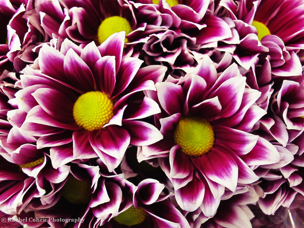 &quot;Wild About Flowers&quot;<br /> <br /> Brilliant purple, white, and yellow flowers!<br /> <br /> Flowers by Rachel Cohen