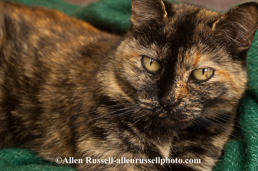 Tortoise shell calico cat | Allen Russell Photography