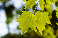 A beautiful green Maple Leaf hangs high in the sky.<br /> <br /> &copy;2012, Sean Phillips<br /> http://www.RiverwoodPhotography.com