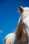 SHOT 3/28/2007 - A white horse set against a stunning blue sky backdrop at the Ahimsa Ranch Animal Rescue. Lauren Tipton of Fort Collins runs the Ahimsa Ranch Animal Rescue on 35 acres near Wellington, Co. The ranch is home to about 50 rescue horses as well as goats, dogs and a range of other animals that she has taken in. Tipton said that more than 100,000 horses are slaughtered every year almost exclusively for export to foreign countries where it is considered a delicacy. The ranch operates privately and is generates operating revenue mainly through adoption fees. Ahimsa Ranch Animal Rescue is dedicated to providing rescue and sanctuary to horses and farm animals in need. We are a no kill facility, and most of our animals are available for adoption to excellent lifetime homes. .(Photo by Marc Piscotty © 2007)