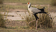Secretary Bird (Sagittarius serpentarius)<br />