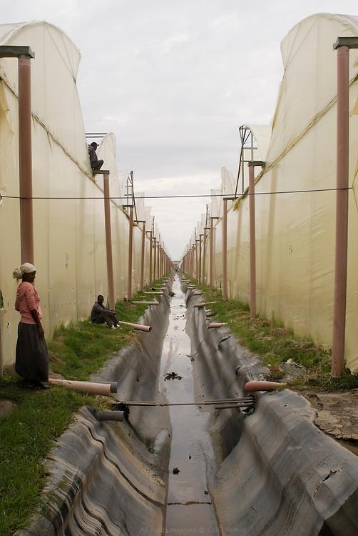 AQ Roses est une entreprise hollandaise dirigée par la famille Ammerlaan. Ils se sont installés en Éthiopie en 2006 pour concurrencer le manque de terres disponibles et le coû?t d'une telle entreprise aux Pays Bas. Ils louent 38 hectares à Gerrit Barnhoorn, lui même propriétaire de 400 hectares en bordure du Lac Ziway. AQ Roses produit près de 100 millions de fleurs par an, en majorité des roses. Leurs principaux clients sont la Hollande, l'Allemagne et la Scandinavie. Ils pompent directement dans le Lac Ziway pour tous leurs besoins en eau. Tous les matins un mélange de pesticides est pulvérisé sur les plantations. Le surplus est rejeté directement dans le lac (photo). Éthiopie août 2011.