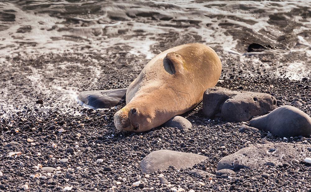 The Hawaiian Monk Seal (Neomonachus schauinslandi) is endemic to Hawaii and endangered.