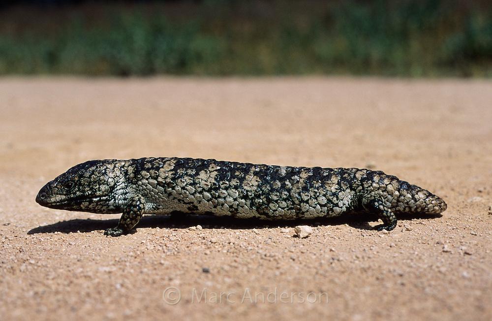 Shingleback Lizard, Tiliqua rugosa, Australia