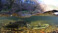 Chinook Salmon<br /> <br /> Paul Vecsei/Engbretson Underwater Photography
