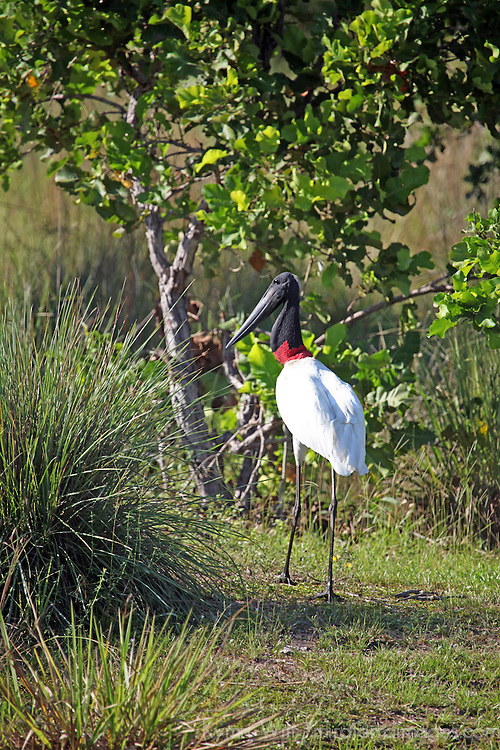 South America, Brazil, Pantanal.  The Jabiru Stork of the Pantanal.
