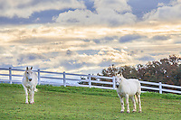 A pair of white horses shortly after sunrise on a farm in VA.