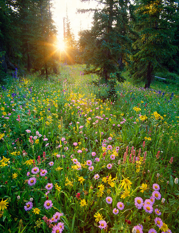 0441-1000B  ~ Copyright: George H.H. Huey ~  Asters [Aster sp.], orange sneezeweed [Helenium hoopesii], paintbrush [Castilleja sp.], and larkspur [Delphinium so.], in spruce/ fir forest, at sunset.  San Juan Mountains.  Near town of Telluride, Uncompahgre National Forest, Colorado.