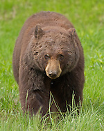 In Yellowstone Park, adult black bear boars may weigh in excess of 300 pounds. This large male was in pursuit of two female black bears during mid-June, the height of the breeding season.