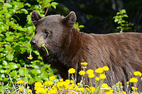 Black Bear eating dandelions