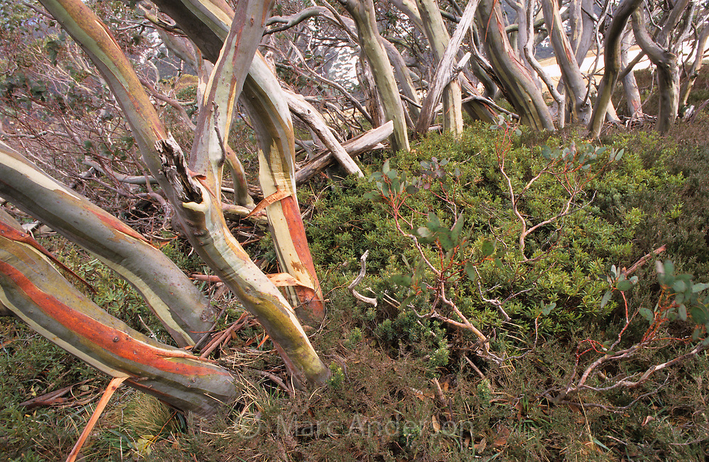 Snow Gums, Eucalyptus pauciflora, in an alpine meadow, Alpine National Park, Australia