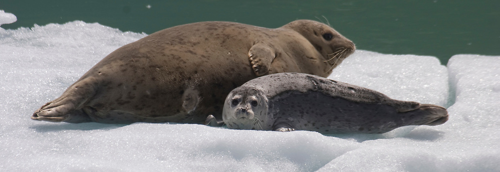 A harbor seal (Phoca vitulina) and her pup rest on an ice berg in Tracy Arm.