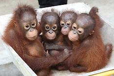 APR 7 2013 Orphaned baby orangutans in Borneo