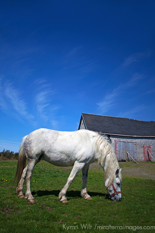 Canada, Nova Scotia, Guysborough County. White Horse and Barn of Nova Scotia.