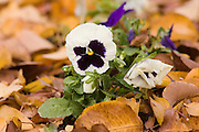 Pansie blooms, in autumn leaves,