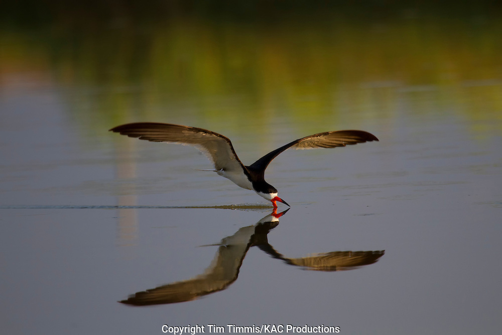 Black Skimmer, Rynchops niger, Bryan Beach, Texas gulf coast, skimming with beak in water, splashing water, reflection