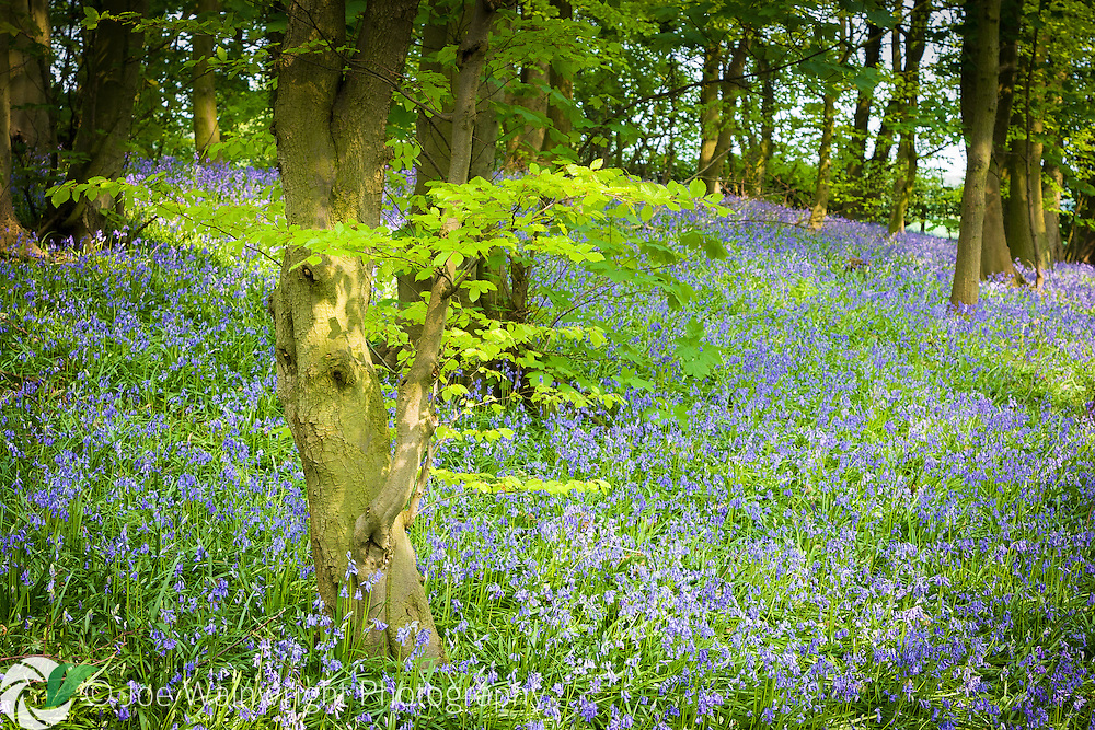 A beautiful carpet of bluebells on the woodland floor, near Macclesfield, Cheshire.