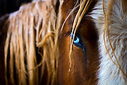 SHOT 3/29/2007 - The brilliantly colored blue eye of a horse at the Ahimsa Ranch Animal Rescue. Lauren Tipton of Fort Collins runs the Ahimsa Ranch Animal Rescue on 35 acres near Wellington, Co. The ranch is home to about 50 rescue horses as well as goats, dogs and a range of other animals that she has taken in. Tipton said that more than 100,000 horses are slaughtered every year almost exclusively for export to foreign countries where it is considered a delicacy. The ranch operates privately and is generates operating revenue mainly through adoption fees. Ahimsa Ranch Animal Rescue is dedicated to providing rescue and sanctuary to horses and farm animals in need. We are a no kill facility, and most of our animals are available for adoption to excellent lifetime homes. .(Photo by Marc Piscotty © 2007)